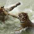 Stock Photo: Fighting tigers