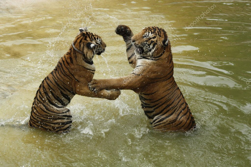 Fighting tigers in a water — Stock Photo #11338928