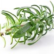 Branch of rosemary — Foto Stock