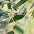 Green olive on the branch — Stock Photo