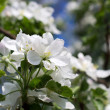 Blooming white flowers - Stock Photo