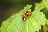 赤いてんとう虫 — ストック写真