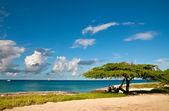 Divi-divi drzewo aruby. morze. niebo. oceanu. tropików. karaiby. — Zdjęcie stockowe