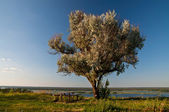 Old olive tree, a table and benches on the Dnieper river — Stock Photo