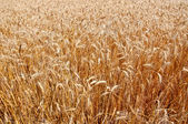 Wheat field as a background — Stock Photo