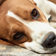 Beagle resting. — Stock Photo