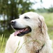 Portrait of Golden Retriever. Female, eight years old. — Stock Photo