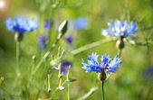 Blauwe bloemen — Stockfoto