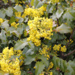Flowering Oregon Grape - Stock Photo