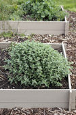 Mint Growing in a Garden Bed — Stock Photo