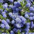 Blue Ceanothus Flowers — Stock Photo