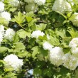 White Snowball Bush - ストック写真