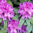 Bright Pink Rhododendron — Stock Photo #11904182