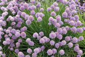 Chives Growing — Стоковое фото