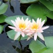 Stock Photo: Two lotuses