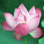 Pink lotus — Stock Photo #11398756