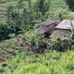 Farm houses and tea plantation — Stock Photo #11917343