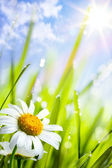 Natural summer background with daisies flowers in grass — Stock Photo
