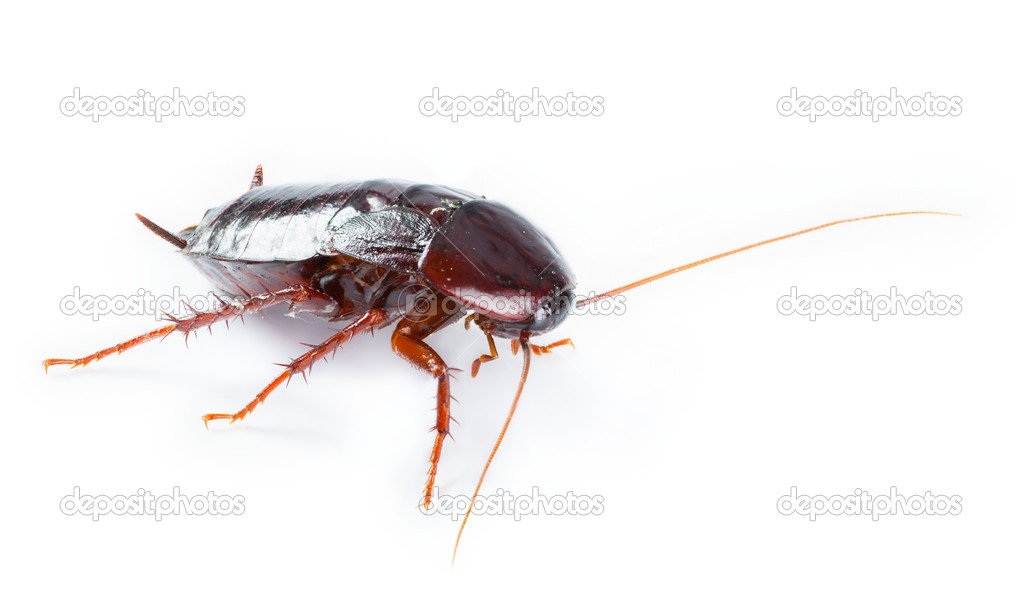 One Cockroach bug  isolated on white background — Stock Photo #10883618