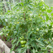 Stock Photo: Tomato plants growing in home veggie plot