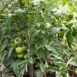 Stock Photo: Tomato plant with immature fruit