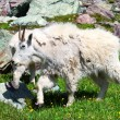Mountain Goat (Oreamnos americanus) — Stock Photo #10908520