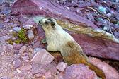 Hoary Marmot (Marmota caligata) — Stock Photo