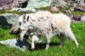 Mountain Goat (Oreamnos americanus) — Stock Photo