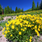 Yellowstone National Park Wildflowers — Stock Photo