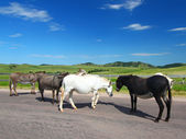 Custer State Park Burros — Stock Photo