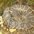 Prairie Rattlesnake (Crotalus viridis) — Stock Photo