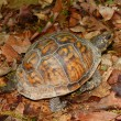 Stock Photo: Box Turtle in Alabama