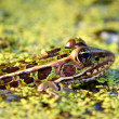 Northern Leopard Frog (Rana pipiens) — Stock Photo #11564038