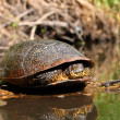 Stock Photo: Blandings Turtle Basking on Log