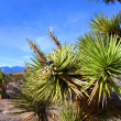 JoshuTree (Yuccbrevifolia) Nevada — Stock Photo #11803163