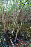 Mangroves of Puerto Rico — Stock Photo