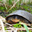 Stock Photo: Blandings Turtle (Emydoideblandingii)