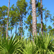 Pine Flatwoods - Florida — Stock Photo #11980100