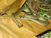 Brown Snake (Storeria dekayi) — ストック写真