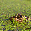 Stock Photo: Northern Leopard Frog (Rana pipiens)