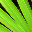 Stock Photo: Saw Palmetto Background