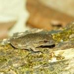 Spring Peeper (Pseudacris crucifer) — Stock Photo
