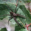 Dark Fishing Spider (Dolomedes tenebrosus) — Stock Photo