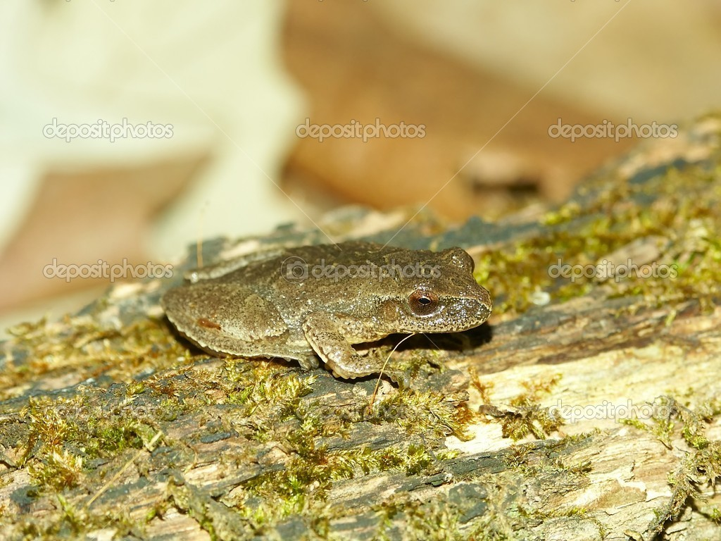 Spring Peeper (Pseudacris crucifer) at Kickapoo State Park in central Illinois. — Stock Photo #12411363