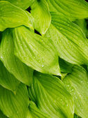 Green leafs background — Foto de Stock