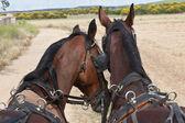 Coppia di cavalli — Foto Stock