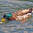 Foto de Stock  : Mallard with Cracker