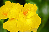 Yellow Iris in the Rain — Stock Photo