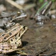 Stock Photo: Frogs in pond