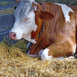 Cow in stable — Stock Photo #12013184